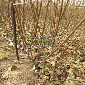 春雪桃树苗供应、春雪桃树苗多少钱一棵