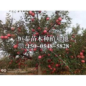黃元帥蘋果苗樹苗出售報價