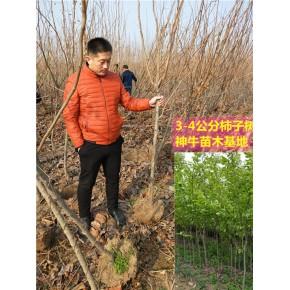 20公分大柿子樹水果種植前景 一公分柿子樹苗